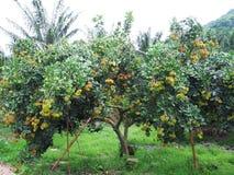 Bliźniarki i mangostanu drzewa Zdjęcia Stock