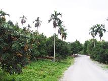 Bliźniarki i mangostanu drzewa Zdjęcie Royalty Free