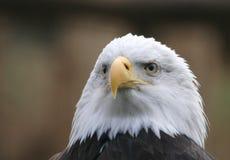 bli skallig örnen Arkivbild