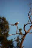 bli skallig att vila för fågelörn Royaltyfria Foton