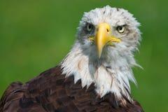 bli skallig den täta örnen upp Arkivfoton