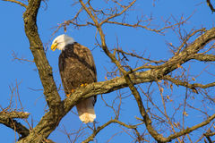 Bli skallig Eagle Calling Mate, medan sätta sig på tjock filial Fotografering för Bildbyråer