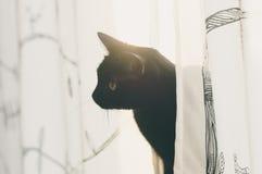 Blick der schwarzen Katze heraus von den Vorhängen Stockfotos