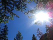 Blick des Himmels zwischen Nadelbäumen Stockbild