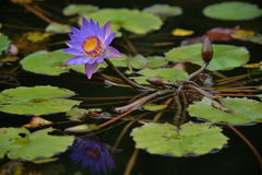 Blick för fullt område av lotusblomma arkivfoton