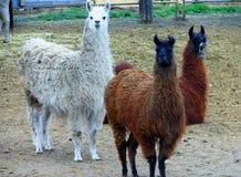 Blick för tre nyfiken lamor på kameran arkivbilder