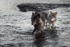 Blick Grey Wolvess (Canis Lupus) heraus vom Fluss Stockfoto
