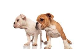 Blick mit zwei netter englischer Bulldoggenwelpen zur Seite Stockbilder