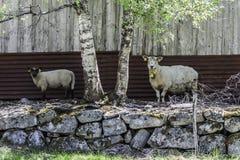 Blick mit zwei Schafen auf Sie Stockfoto