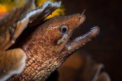 Blick Moray Eels (Gymnothorax-javanicus) heraus von einem harten korallenroten Stift Stockfoto