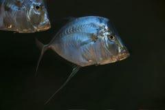 Blick-unten Pompanofische Stockfotografie