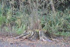 Blicke dieses wachsen große Baumstumpfs ziemlich absolut aber von es neue Niederlassungen Lizenzfreie Stockbilder