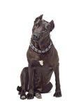 Blicke Staffordshire-Terriers interessiert Stockfotos