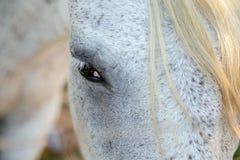 Blicken av den vita hästen Arkivbild