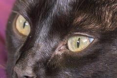 Blicken der schwarzen Katze Stockbild