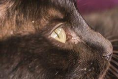 Blicken der schwarzen Katze Stockfotos