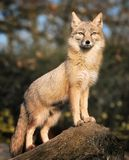 Blickender Fox Lizenzfreies Stockfoto