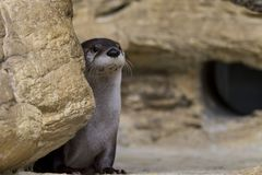 Blickender nordamerikanischer Fluss-Otter Stockfoto