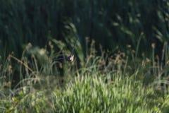 Blickkontakt der hölzernen Ente im Flug Lizenzfreie Stockfotos