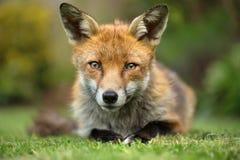 Blickkontakt des roten Fuchses Stockfotografie
