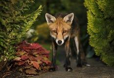 Blickkontakt des roten Fuchses Stockbilder