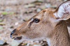 Blickkontakt des Rotwilds, selektiver Fokus, Damhirschkuh mustert Lizenzfreies Stockfoto