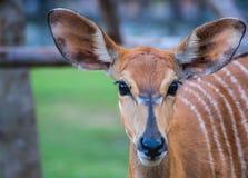 Blickkontakt des Rotwilds, selektiver Fokus, Damhirschkuh mustert Stockfotografie