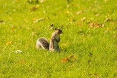 Blickkontakt mit einem Eichhörnchen Lizenzfreie Stockfotos