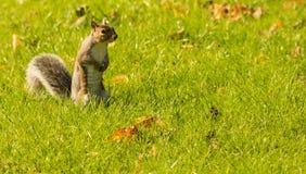 Blickkontakt mit einem Eichhörnchen Lizenzfreies Stockbild