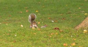 Blickkontakt mit einem Eichhörnchen Stockbild
