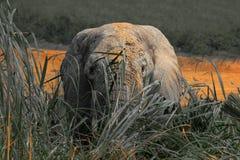 Blickkontakt mit einem Elefanten Lizenzfreie Stockfotografie