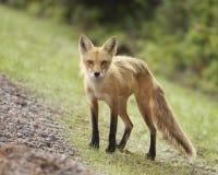 Blickkontakt mit einem Fuchs Stockfoto