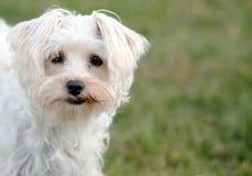 Blickkontakt mit einem weißen Hund Stockfoto