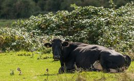 Blickkontakt mit einer Schwarzweiss-Kuh Lizenzfreie Stockfotografie