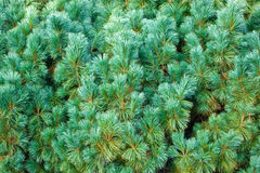 Blie pine Royalty Free Stock Images