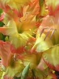 Blij voor Gladiolen royalty-vrije stock fotografie