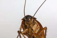 Blijft van dode kakkerlakken de dieren dragers zijn stock foto