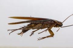 Blijft van dode kakkerlakken de dieren dragers zijn royalty-vrije stock foto