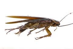 Blijft van dode kakkerlakken de dieren dragers zijn royalty-vrije stock afbeelding