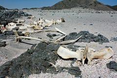 Blijft van Dode Whale#1: Masiraheiland, Oman royalty-vrije stock fotografie