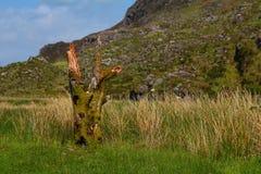 Blijft van een boomboomstam die in mos wordt behandeld Stock Afbeelding