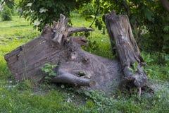 Blijft van een oude boom Royalty-vrije Stock Afbeeldingen