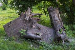 Blijft van een oude boom Stock Afbeeldingen