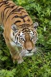 Blik van de Amur-tijger royalty-vrije stock afbeeldingen