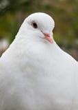 Blik van duif royalty-vrije stock afbeelding