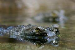 Blik van een krokodil Stock Fotografie