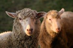 Blik van schapen Royalty-vrije Stock Foto's