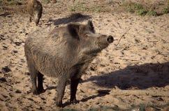 Blik van wild everzwijn Stock Foto