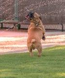 Blind buldogpuppy die zich bij zijn het achterste benen spelen bevinden royalty-vrije stock foto