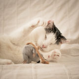 Blind cat playing with a mouse. royalty free stock photos